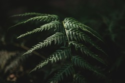 Selective focus of fern leaf isolated in dark background. Natural ferns pattern. Beautiful background made with young green fern leaves. Beautiful ferns leaves green foliage. Natural floral fern.