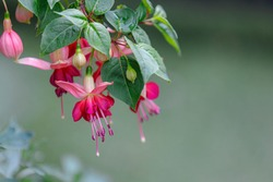 Selective focus of Fuchsia magellanica, Purple pink flower in the garden, Hummingbird fuchsia or hardy fuchsia is a species of flowering plant in the family Evening Primrose family, Floral background.