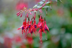 Selective focus of Fuchsia magellanica, Purple red flower in the garden, Hummingbird fuchsia or hardy fuchsia is a species of flowering plant in the family Evening Primrose family, Floral background.