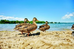 Selective focus of group of wild ducks enjoying the freedom and walking on the sandy beach near lake water under beautiful blue sky. Nature and environmental concept. Animal, wildlife and bird theme.