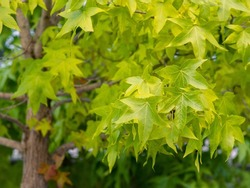 Selective focus of liquidambar (sweetgum tree) green leafs with blurred background