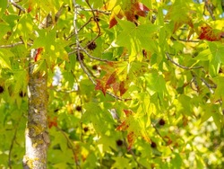 Selective focus of liquidambar (sweetgum tree) leafs with blurred background