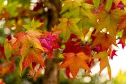 Selective focus of liquidambar (sweetgum tree) leafs with blurred background - autumnal background