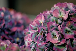Selective focus of multicolour Hortensia or French Hydrangea macrophylla, A species of flowering plant in the family of Hydrangeaceae, Colourful ornamental flower, Natural floral pattern background.