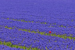 Selective focus of one single wild red tulip growing between the blue flowers in the field, Meadow of Muscari armeniacum during spring season, Nature floral background, Tulip festival in Netherlands.