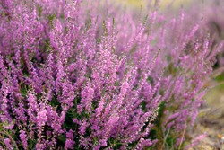 Selective focus of purple flowers on the field, Calluna vulgaris (ling, or simply heather) is the sole species in the genus Calluna in the flowering plant family Ericaceae, Nature floral background.