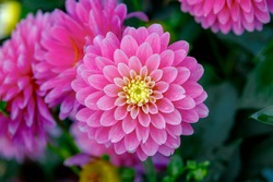 Selective focus of purple pink flower in the garden with raindrops, Dahlia pinnata is a genus Dahlia family Asteraceae, It is species of the genus and is widely cultivated, Nature floral background.