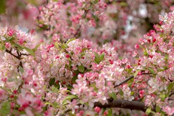 Selective focus of red pink flower of Malus floribunda on the tree with yong green leaves, Japanese flowering crabapple, Purple chokeberry or showy crabapple, Nature floral pattern texture background.