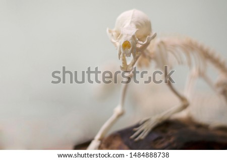 Selective focus of small animal skeleton with blurred background,  museum of Osteology, skeletons of both common and exotic mammals. #1484888738