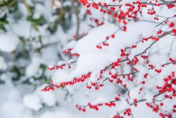 Selective focus of snow powder on red berries
