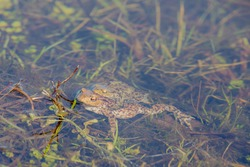 Selective focus of the common european toad is an amphibian, Two frogs in its natural habitat are hybridize in the pond, Living out naturally, Courtship of amphibians in spawning and breeding season.