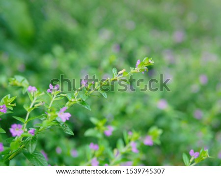 Selective focus of the top of Cuphea Hyssopifolia, the false heather, Mexican heather, Hawaiian heather, or elfin herb #1539745307