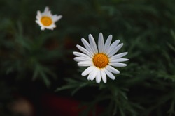 Selective focus of white flower in garden, Marguerite daisy (Struikmargriet) in the dark tone, Argyranthemum frutescens known as Paris daisy, Marguerite or marguerite daisy, Nature floral background.