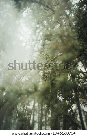 selective focus of white pine branches with needles on blurred background. Spruce branch. Beautiful branch of spruce with needles. Christmas tree in nature. Green spruce. Spruce close up.