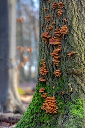 Selective focus of wild Cluster mushrooms on the trunk with green moss in the forest, Ringless honey mushroom clusters are wood decomposing fungi and are associated with dead and dying trees, stumps.