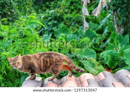 selective focus of Wild short hair cat walking on house roof & watching to camera on blurred green plant & forest background. Wild animal visiting home in tropical summer morning sunlight, copy space  #1297313047