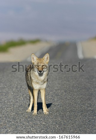 Selective focus on a coyote (Canis latrans) on a road. Photo taken in Death Valley National Park.