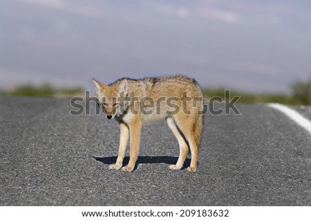 Selective focus on a coyote (Canis latrans) on Badwater Road (Death Valley National Park, California).