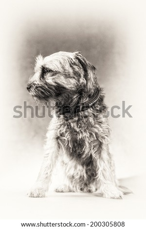 Selective focus on animal dog head. Fine art portrait of cute Border Terrier in black and white. This young and cute dog is stably sitting and staring at something left side.