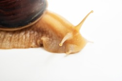selective focus on antennas, eyes. part of large land snail on a white background. unusual pets. unconventional cosmetology and medicine.
