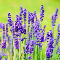 Selective focus on lavender flowers in the garden lit by sunlight
