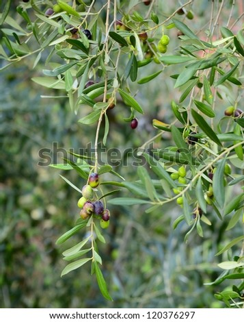 Selective focus on olives in various stages of ripening, hanging from branches, in de-focused background. Location: Liguria, Italy.