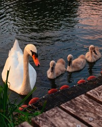 Selective focus on one female swan and three baby swans in