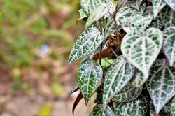 selective focus on Piper ornatum leaves or red betel, commonly consumed in Asia, especially India as betel quid or in paan for tradition