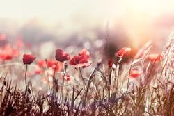 Selective focus on poppy flower, wild poppy flowers in sring meadow