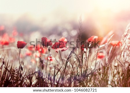 Selective focus on poppy flower, wild poppy flowers in sring meadow