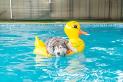 selective focus point - syberien husky swimming in the pool with swim ring