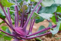 Selective focus. Purple Kohlrabi (German turnip or turnip cabbage) in garden bed. Kohlrabi cabbage or turnip plant growing in Agricultural field, ready to harvest, fresh and ripe.