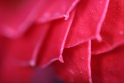 selective focus red  flowers leaf, macro photo, blurred background