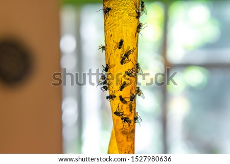 Selective focus Sticky flypaper with glued flies, trap for flies or fly-killing device. in home background, copyspace. fly strip or ribbon concept of epidemic and disease vectors, parasite invasion