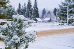 Selective focus to snowy pine branch with white snow flakes. Winter rural landscape with road in snow drifts, snow covered trees in the defocused background of russian siberian village. Winter season.