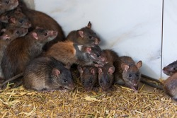 Selective focus view of brown rats in a farm