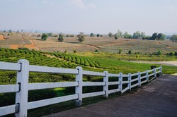 Selective focus White fence behind a tea plantation and tea leaves in Chiang Rai, Thailand.