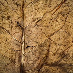 Selective focus with copy space. Dry brown Tobacco leaf texture background, closeup. High quality tobacco big leaf, macro close up