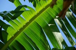 Selective focused, fresh green torn banana leaf, blue sky background. Concept of saving environment, green leaf, banana leaf, pattern, nature.