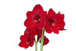 Selective focused  photo of red Amaryllis flowers isolated on white background with space for runaround or wraparound text concept of love and romance
