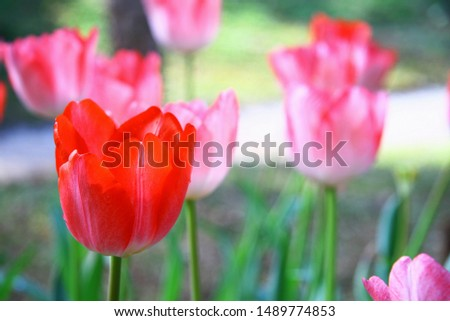 Selective focusing on Red tulip with soft focus of many tulips surrounding in the garden background