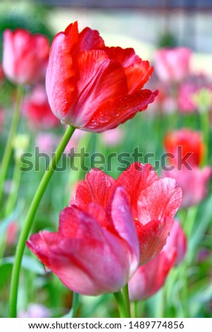 Selective focusing on Red tulip with soft focus of many tulips surrounding in the garden background  #1489774856