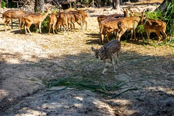 Selective of baby Spotted Deer in the zoo, group  Star deer family enjoys eating  on green grass together in the zoo..animal concept