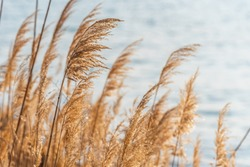 Selective soft focus of beach dry grass, stalks blowing in the wind at golden sunset light, horizontal, blurred sea on background, copy space,  Nature, summer, grass concept.