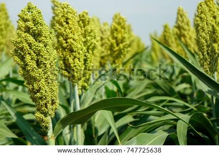 Selective soft focus of Sorghum field in sun light. Zdjęcia stock ©