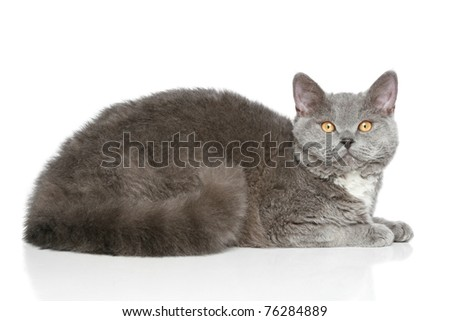Selkirk-Rex breed grey colored cat lying on a white background - stock photo