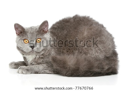 Selkirk-Rex breed grey colored cat lying on a white background