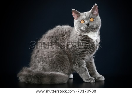 Selkirk-Rex breed grey colored cat lying on dark-blue background
