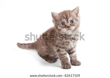 Selkirk Rex kitten on white