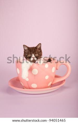 Selkirk Rex kitten sitting in over size pink cup and saucer on pink background